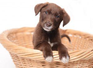 Brauner Welpe in Hundekorb