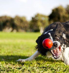Border Collie spielt mit Ball