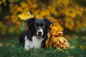 Glücklicher Border Collie im Herbst