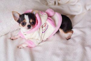 Chihuahua mit Bademantel auf Decke