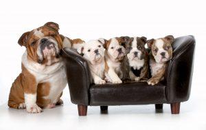 Fünf Doggen auf Hundesofa