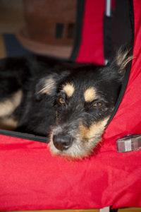 Faltbare Hundebox: die perfekte Box für unkomplizierte Reisen