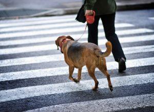 Hund an Rollleine überquert Straße