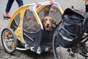 Hund in gelben Hundefahrradanhänger