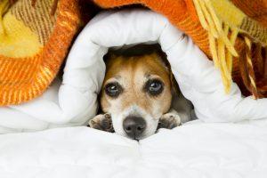 Kleiner Hund unter Decke