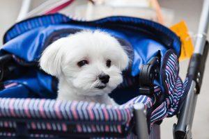 Kleiner weißer Hund in Buggy