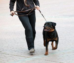 Ausgewachsener Rottweiler an Schleppleine
