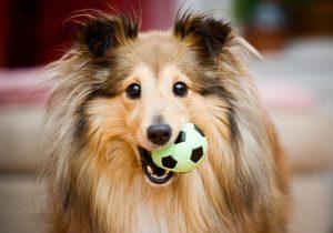 Brauner Hund mit Ball in Schnauze