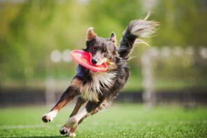 Border Collie spielt mit Frisbee