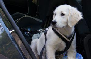 Hund mit angelegten Geschirr im Auto