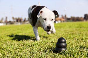 Pitbull mit Hunde Intelligenzspielzeug
