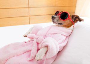 Hund mit Bademantel und Sonnenbrille