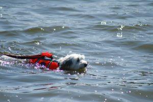 Kleiner Hund schwimmt im See