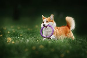 Kleiner Hund spiel mit Wurfring im Gras