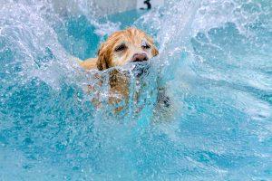 Golden Retriever spielt im Wasser
