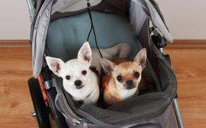 Zwei Hunde in Buggy