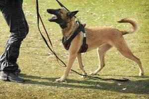 Schäferhund mit Hundegeschirr während Training
