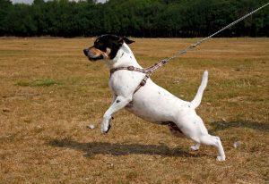 Kleiner Hund reißt an Hundegeschirr