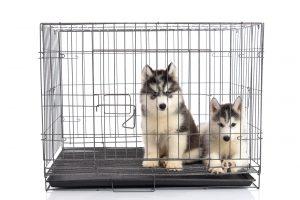 Zwei junge Huskys in Hundekäfig