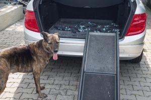 Hund geht über Rampe in Kofferraum