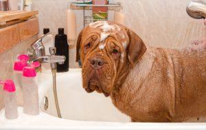 Pflegendes Hundeshampoo für Dogge