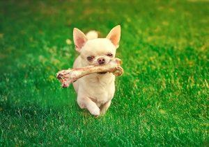 Chihuahua mit Hundeknochen