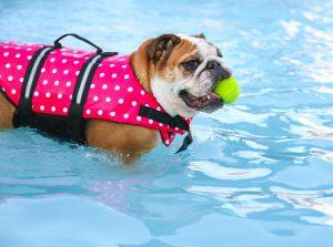 Dogge mit Hundeschwimmweste und Ball