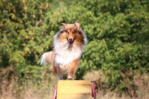 Hund läuft auf Hunderampe