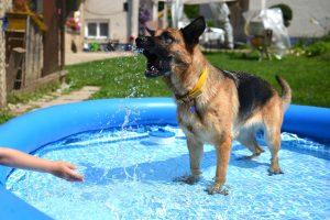 Schäferhund im aufblasbaren Hundepool