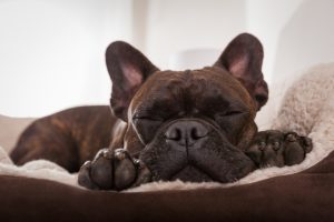 Dogge schläft in orthopädischen Hundebett