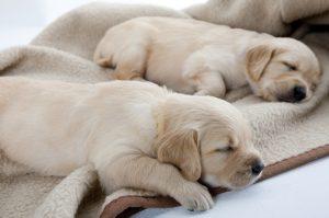 Schlafende Welpen auf Hundedecke