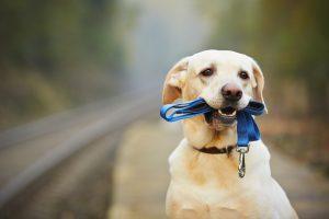 Hund mit Schleppleine in Schnauze