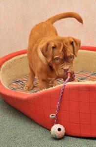 Niedlicher Hund in roten Hundekorb